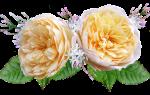 10 лучших сортов роз Остина — рейтинг 2020