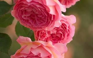 10 лучших сортов роз флорибунда — рейтинг 2020
