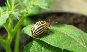 10 лучших средств от колорадского жука – рейтинг 2020