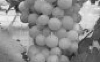 10 лучших сортов винограда для средней полосы — рейтинг 2020