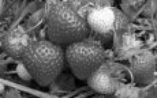 10 лучших сортов клубники для Подмосковья – рейтинг (Топ-10)