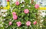 10 лучших сортов роз для Сибири — рейтинг 2020