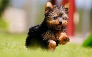 10 самых маленьких пород собак — рейтинг 2020